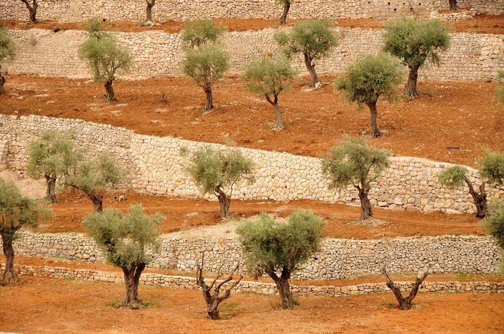 Stock Photo: 1848-468532 Olive trees at the foot of the Mount of Olives in the Kidron Valley, Jerusalem, Israel, Middle East, Orient