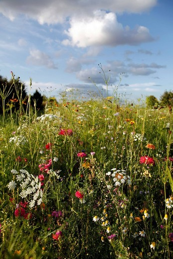 Meadow with many wild flowers in full bloom : Stock Photo