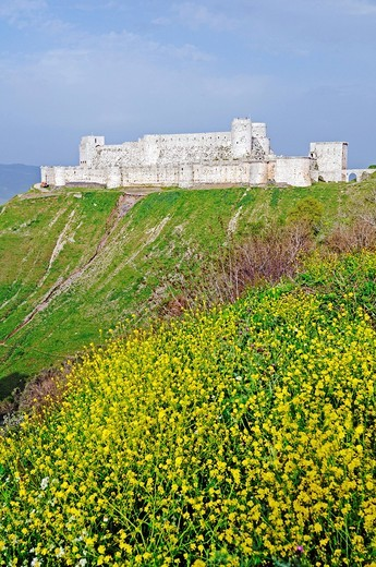 Stock Photo: 1848-469948 Blooming meadow in front of the castle and fortress Krak des Chevaliers, Qal´at al_&7716,i&7779,n, UNESCO World Heritage Site, built by crusaders, Syria, Middle East, Asia