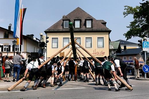 Maypole being raised, Prien, Chiemgau, Upper Bavaria, Germany, Europe : Stock Photo