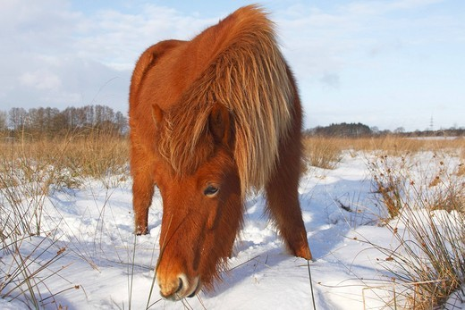 Icelandic Horse, Icelandic Pony Equus przewalskii f. caballus foraging in winter in snow : Stock Photo