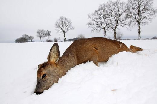Dead european roe deer Capreolus capreolus, recently died, in winter in snow : Stock Photo