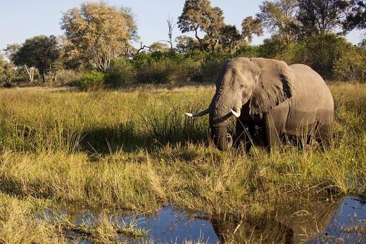 African elephant Loxodonta africana, Savuti, Chobe National Park, Botswana, Africa : Stock Photo
