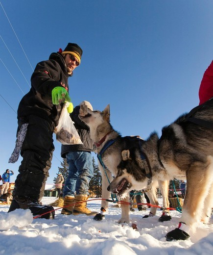 Dog musher Hugh Neff snacking his sled dogs with frozen fish in Pelly Crossing checkpoint, Yukon Quest 1, 000_mile International Sled Dog Race 2010, Yukon Territory, Canada : Stock Photo