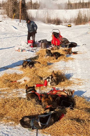 Resting sled dog team, dog sled behind, 4 time Yukon Quest and Iditarod champion Lance Mackey, Alaskan Huskies, straw, Pelly Crossing checkpoint, Yukon Quest 1, 000_mile International Sled Dog Race 2010, Yukon Territory, Canada : Stock Photo