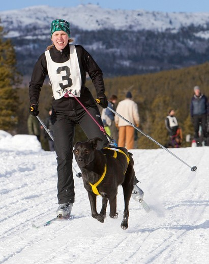 Young woman skijoring, skier pulled by a dog, running sled dog, dog sport, Labrador, Lab mix, dog sled race near Whitehorse, Yukon, Territory, Canada : Stock Photo