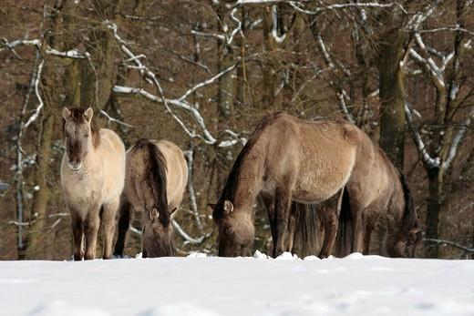 Tarpan, Eurasian Wild Horse Equus przewalskii sylvaticus, backbreeding, herd browsing on meadow in snow, Weilburg Zoo, Hesse, Germany, Europe : Stock Photo