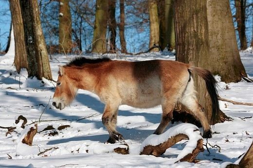 Ancient Wild Horse, Przewalski´s Horse Equus przewalskii in snowy woods, Weilburg Zoo, Hesse, Germany, Europe : Stock Photo