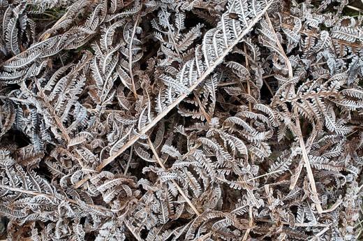 Male fern Dryopteris filix_mas, Schwaz, Tyrol, Austria, Europe : Stock Photo