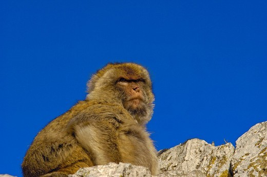 Barbary macaque Macaca sylvanus, Gibraltar, Europe : Stock Photo
