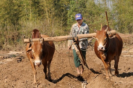Intha farmer with oxen harrowing sugar cane cuttings, Kaungdaing, Inle Lake, Shan State, Myanmar, Burma, South_East Asia, Asia : Stock Photo