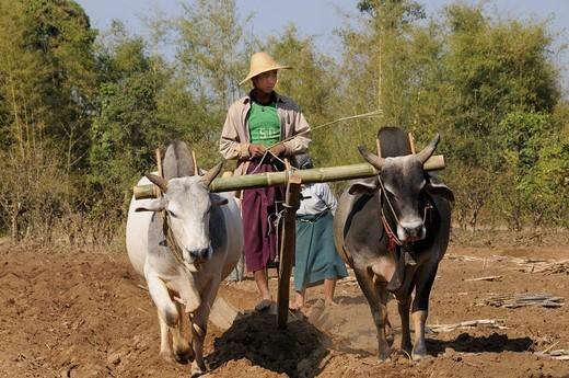 Stock Photo: 1848-474475 Intha farmer with oxen harrowing sugar cane cuttings, Kaungdaing, Inle Lake, Shan State, Myanmar, Burma, South_East Asia, Asia