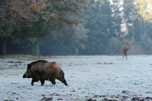 Stock Photo: 1848-474515 Wild boar Sus scrofa, deer in the back