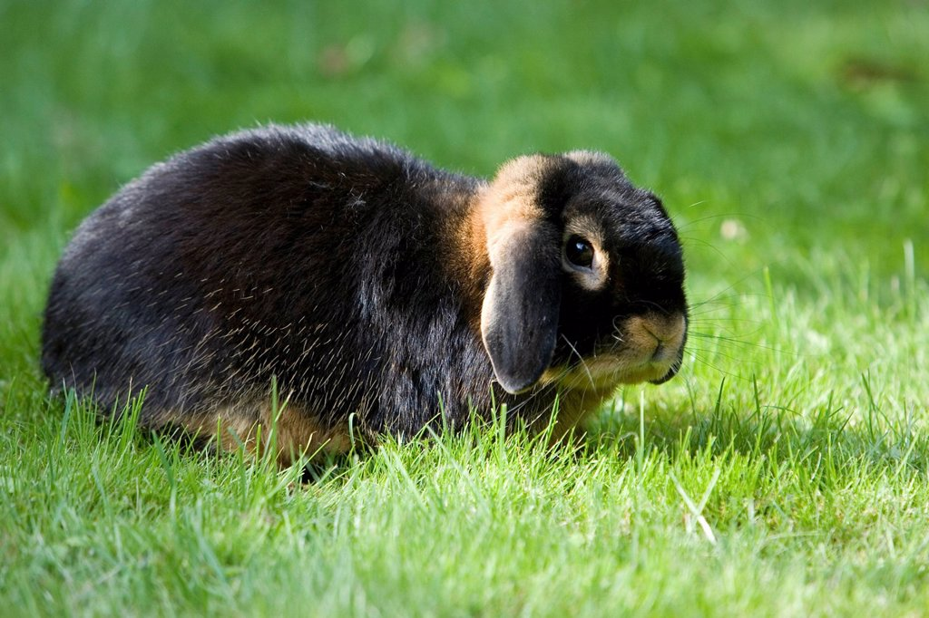 Stock Photo: 1848-474585 Netherland Dwarf, rabbit breed, black tan