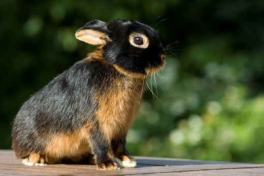 Netherland Dwarf, rabbit breed, black tan : Stock Photo