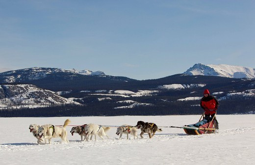 Stock Photo: 1848-475021 Man, musher running, driving a dog sled, team of sled dogs, Alaskan Huskies, mountains behind, frozen Lake Laberge, Yukon Territory, Canada