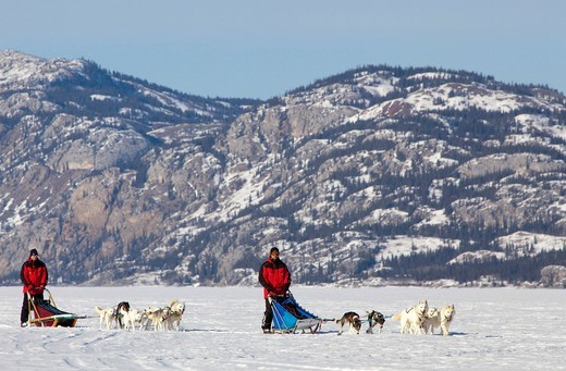Two man, musher running, driving a dog sled, team of sled dogs, Alaskan Huskies, mountains behind, frozen Lake Laberge, Yukon Territory, Canada : Stock Photo