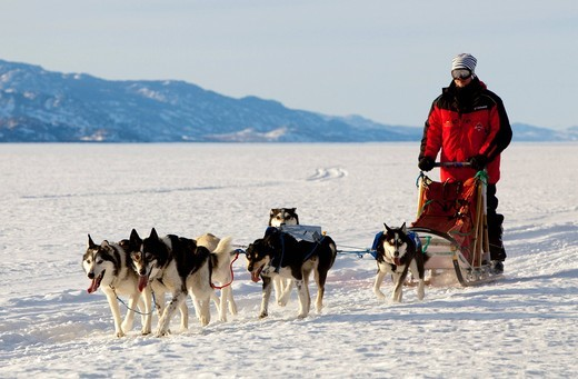 Man, musher running, driving a dog sled, team of sled dogs, Alaskan Huskies, frozen Lake Laberge, Yukon Territory, Canada : Stock Photo
