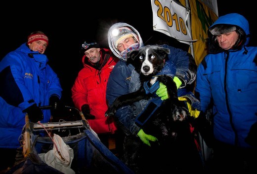 Hugh Neff unloading an injured sled dog from his sled bag after arriving in Dawson City, Yukon Quest 1, 000_mile International Sled Dog Race 2010, Yukon Territory, Canada : Stock Photo