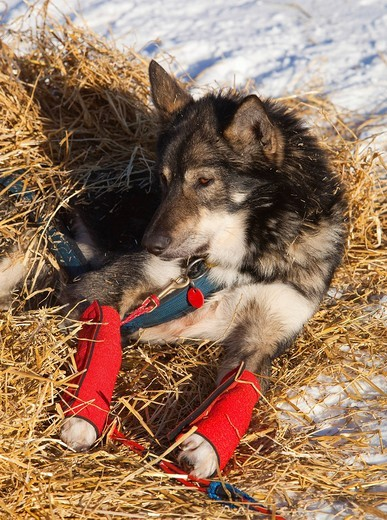 Stock Photo: 1848-475882 Resting sled dog, wrist bandages, Alaskan Husky, straw, Pelly Crossing checkpoint, Yukon Quest 1, 000_mile International Sled Dog Race 2010, Yukon Territory, Canada