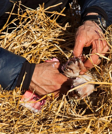 4 time Yukon Quest and Iditarod champion Lance Mackey massaging ointment on foot of sled dog, Alaskan Husky in Pelly Crossing checkpoint, Yukon Quest 1, 000_mile International Sled Dog Race, Yukon Territory, Canada : Stock Photo
