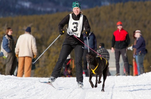 Stock Photo: 1848-475888 Young woman skijoring, skier pulled by a dog, running sled dog, Labrador, Lab mix, dog sled race near Whitehorse, Yukon Territory, Canada