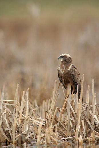 Marsh Harrier Circus aeruginosus : Stock Photo