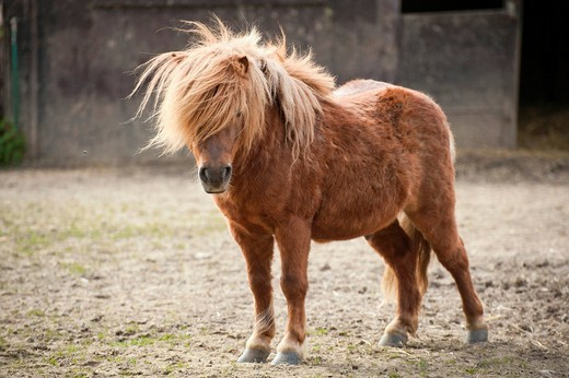 Stock Photo: 1848-476401 Pony, sorrel