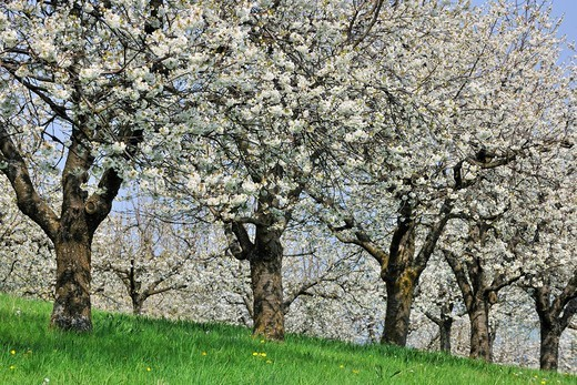 Blossoming cherry trees in spring, Swabian Alb, Baden_Wuerttemberg Germany, Europe : Stock Photo