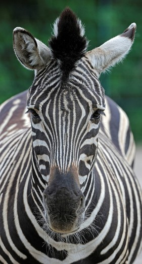 Hartmann´s mountain zebra Equus zebra hartmannae : Stock Photo
