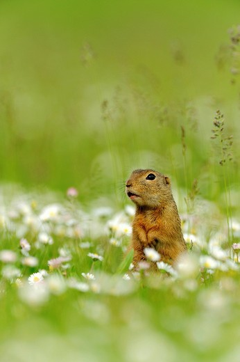 Stock Photo: 1848-477958 European ground squirrel Spermophilus citellus, standing on a meadow with flowering daisies