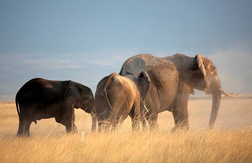 Elephants Loxodonta africana, Amboseli, Kenya, Africa : Stock Photo
