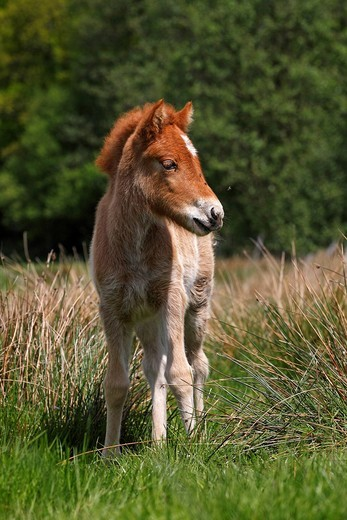 Stock Photo: 1848-478848 Young foal, Icelandic horse or pony Equus przewalskii f. caballus