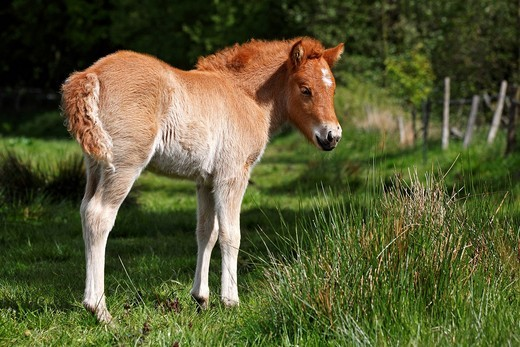 Young foal, Icelandic horse or pony Equus przewalskii f. caballus : Stock Photo