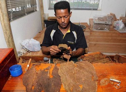 Young man sorting tobacco leaves, cigar factory in Punta Cana, Dominican Republic, Caribbean : Stock Photo