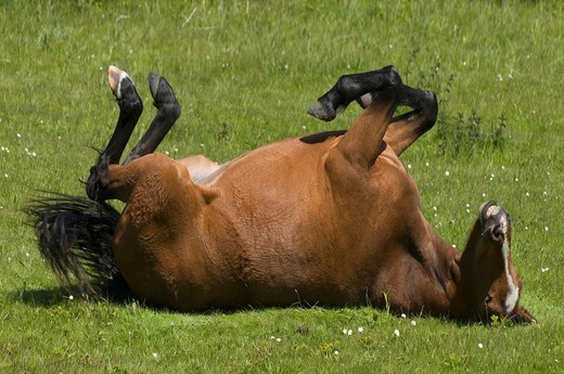 Brown pony rolling in a pasture : Stock Photo