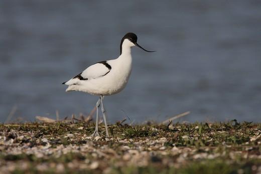 Pied Avocet Recurvirostra avosetta, Texel island, Netherlands, Europe : Stock Photo