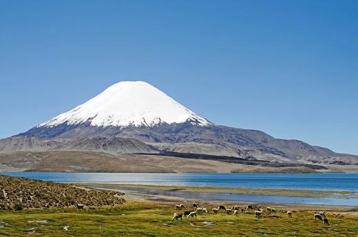 Stock Photo: 1848-479762 Guanacos Llama guanicoe, Parinacota Volcano, Lake Chungara, Lauca National Park, Altiplano, Norte Grande, Northern Chile, Chile, South America