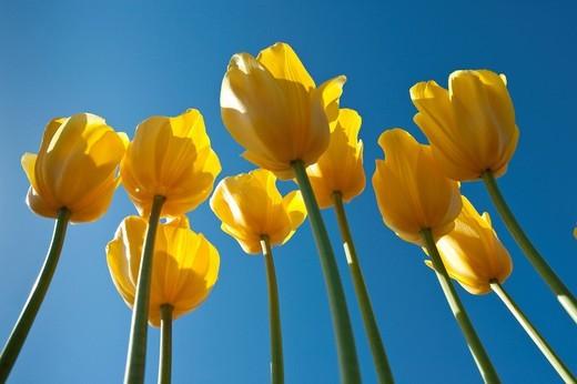 Tulips Tulipa, Texel, Netherlands, Europe : Stock Photo