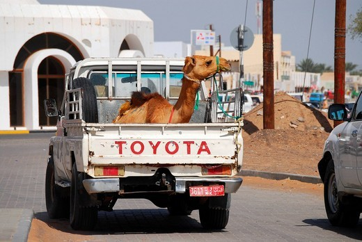 Camel on the back of a car, Ibra, Oman : Stock Photo