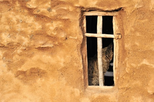 Cat at the window in a mud house, Thar Desert, Rajasthan, India, Asia : Stock Photo