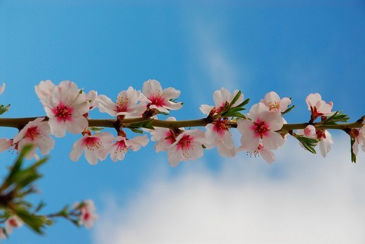 Almond blossoms near Calpe, Costa Blanca, Spain, Europe : Stock Photo