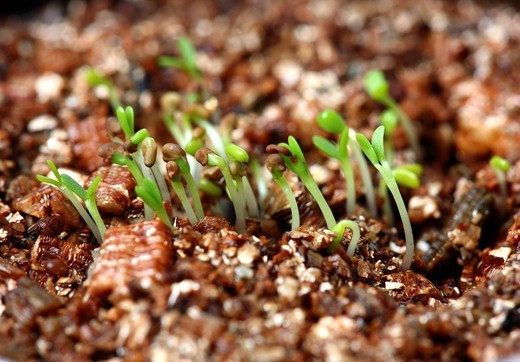 Seedlings of clover on a culture medium : Stock Photo