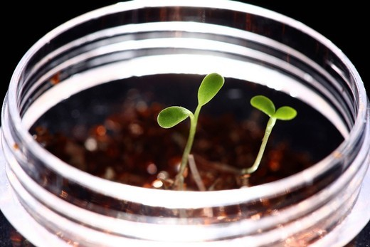 Stock Photo: 1848-482413 Seedlings of clover on a culture medium in a glass bowl
