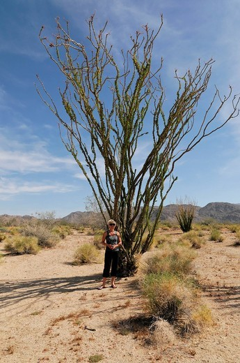 Ocotillo or Desert Coral Fouquieria splendens, Joshua Tree National Park, Palm Desert, Southern California, USA : Stock Photo
