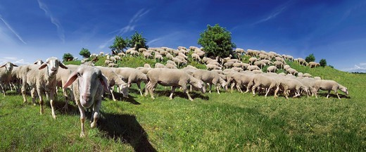 Stock Photo: 1848-482995 Flock of Altmuehltaler sheep grazing on a hill in Upper Eichstaett, Bavaria, Germany, Europe