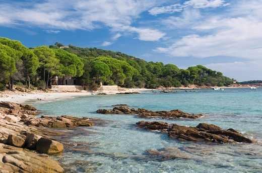 Pine trees on the beach, Gulf of Pinarellu, East Coast, Corsica, France, Europe : Stock Photo