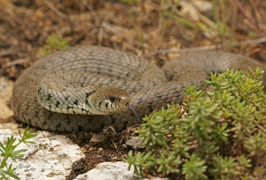 Grass Snake Natrix natrix : Stock Photo
