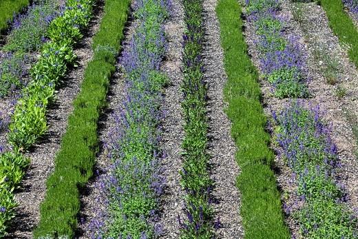 Flowerbed with lavender rows, Landschaftspark Duisburg_Nord landscape park, Duisburg, North Rhine_Westphalia, Germany, Europe : Stock Photo