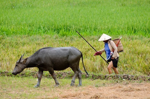 Woman herding domestic Water buffaloes Bubalus arnee at a rice paddy, Vietnam, Asia : Stock Photo